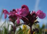 Aehren Laeusekraut Bluete pink Pedicularis rostratospicata 06