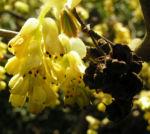 Aehren Scheinhasel Strauch Bluete hellgelb Corylopsis spicata 10