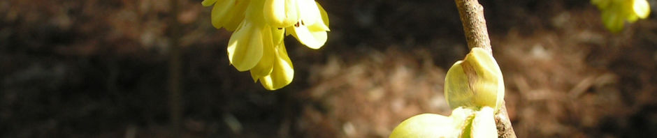 aehren-scheinhasel-strauch-bluete-hellgelb-corylopsis-spicata