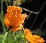 Aehriger Mohn Bluete orange Papaver spicatum 16