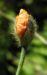 Zurück zum kompletten Bilderset Ähriger Mohn Papaver spicatum