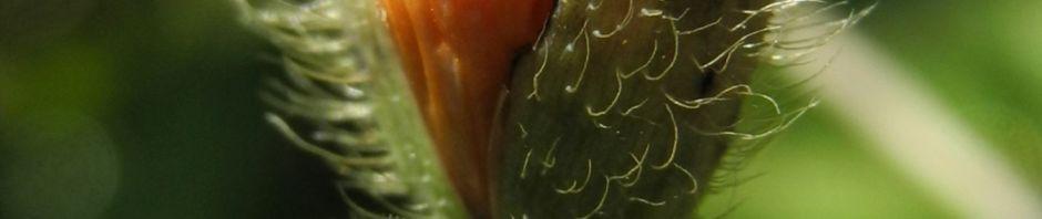 Anklicken um das ganze Bild zu sehen Ähriger Mohn Papaver spicatum