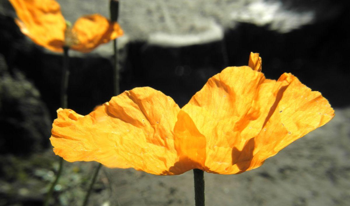 Aehriger Mohn Bluete orange Papaver spicatum