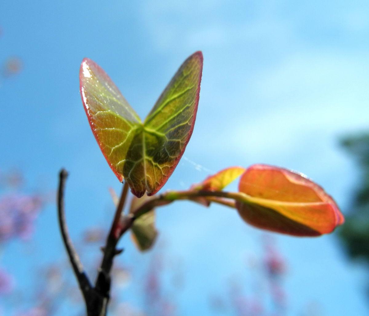 Afghanischer Judasbaum Blatt Cercis griffithii
