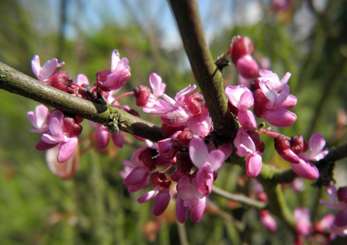 Afghanischer Judasbaum Bluete pink Cercis griffithii