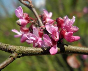 Afghanischer Judasbaum Bluete pink Cercis griffithii 02