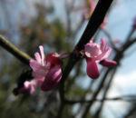 Afghanischer Judasbaum Bluete pink Cercis griffithii 07