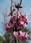 Bild: Afghanischer Judasbaum Blüte pink Cercis griffithii