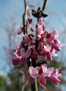 Afghanischer Judasbaum Blüte pink Cercis griffithii