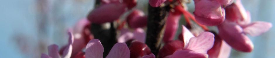 afghanischer-judasbaum-bluete-pink-cercis-griffithii