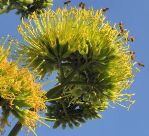Agave Bluete gelblich Agave americana 06