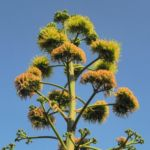 Bild: Agave Blüte gelblich Agave americana