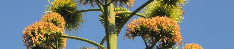 Anklicken um das ganze Bild zu sehen Agave Blüte gelblich Agave americana