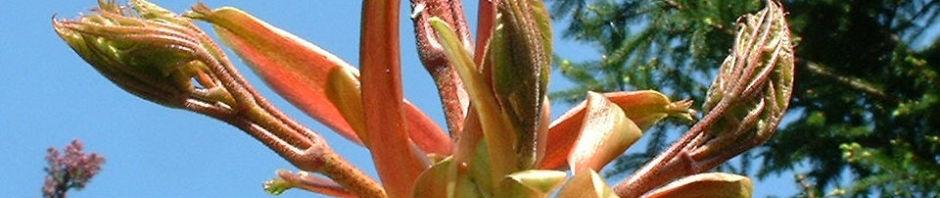 Anklicken um das ganze Bild zu sehen  Spitzahorn Blüte gelb Acer platanoides