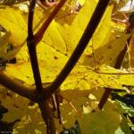 Ahorn Herbstblatt Acer 01
