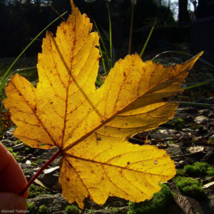 Ahorn Herbstblatt Acer 06