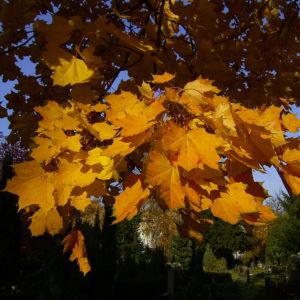 Ahornbaum gelbes Herbstlaub Acer 01