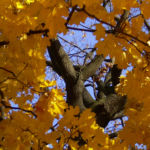Ahornbaum gelbes Herbstlaub Acer 02