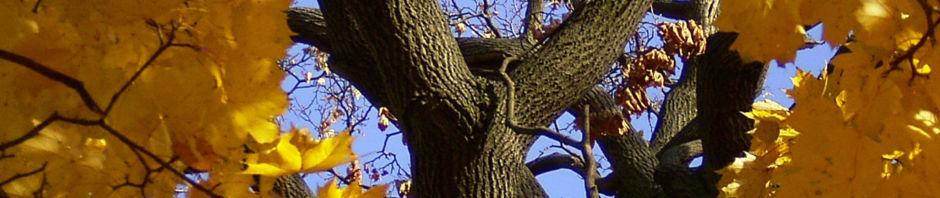 Anklicken um das ganze Bild zu sehen Ahornbaum gelbes Herbstlaub Acer