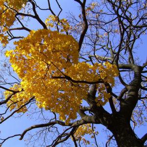 Ahornbaum gelbes Herbstlaub Acer 03