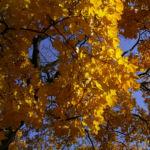 Ahornbaum gelbes Herbstlaub Acer 04