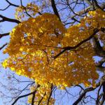 Ahornbaum gelbes Herbstlaub Acer 05