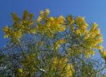 Akazie Bluete gelb Acacia angusta 05