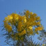Akazie Bluete gelb Acacia angusta 06