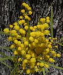 Akazie Bluete gelb Acacia angusta 07