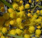 Akazie Bluete gelb Acacia angusta 08