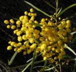 Akazie Bluete gelb Acacia angusta 11