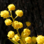 Akazie Bluete gelb Acacia angusta 14