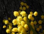 Akazie Bluete gelb Acacia angusta 15