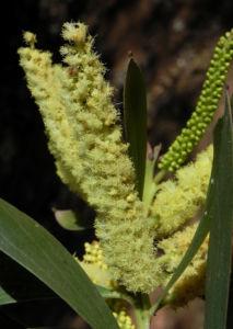 Akazie Bluete gelb Acacia leiocalyx 09