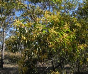 Akazie Bluete gelb Acacia leiocalyx 13