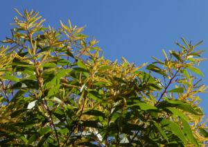 Akazie Bluete gelb Acacia leiocalyx 14