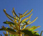 Akazie Bluete gelb Acacia leiocalyx 15