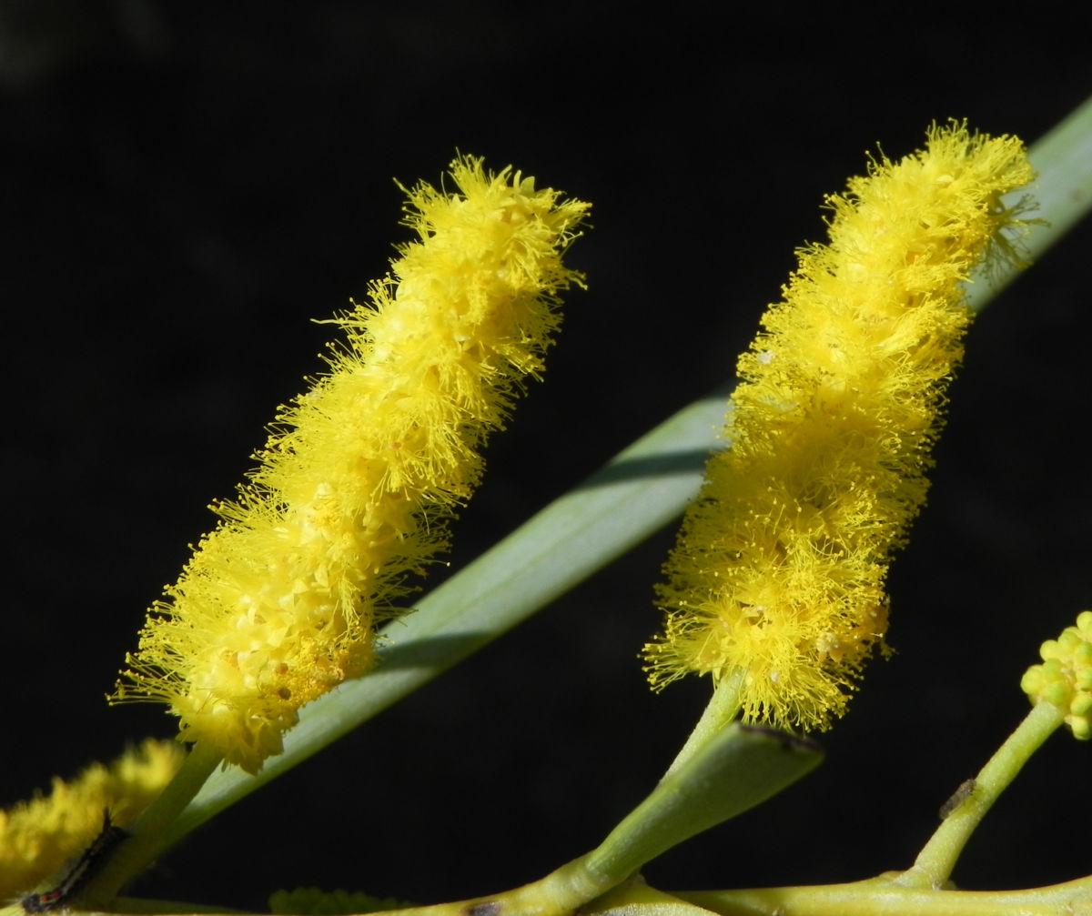 Akazie Bluete gelb Acacia petraea