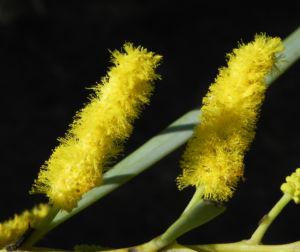 Akazie Bluete gelb Acacia petraea 06