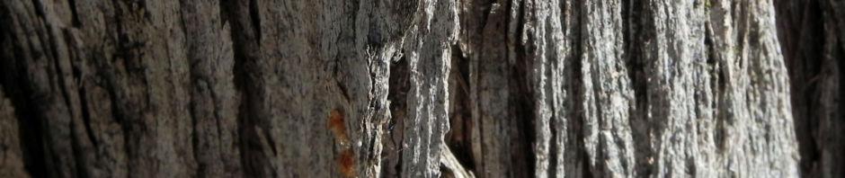 lancewood-strauch-bluete-gelb-rinde-grau-acacia-petraea