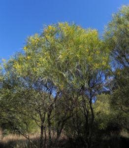 Akazie Strauch gelb gruen Acacia petraea 03