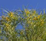 Bild: Lancewood Strauch Blüte gelb Rinde grau Acacia petraea