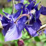 Akelei Bluete blau Aquilegia vulgaris 01