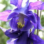 Akelei Bluete blau Aquilegia vulgaris 04
