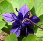 Bild: Wald-Akelei Blüte blau Aquilegia vulgaris