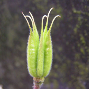 Akelei Bluete weiss Aquilegia vulgaris 04