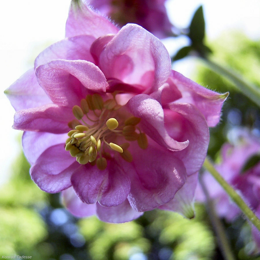 Akelei rosa Bluete Aquilegia vulgaris
