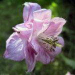 Akelei rosa Bluete Aquilegia vulgaris 04