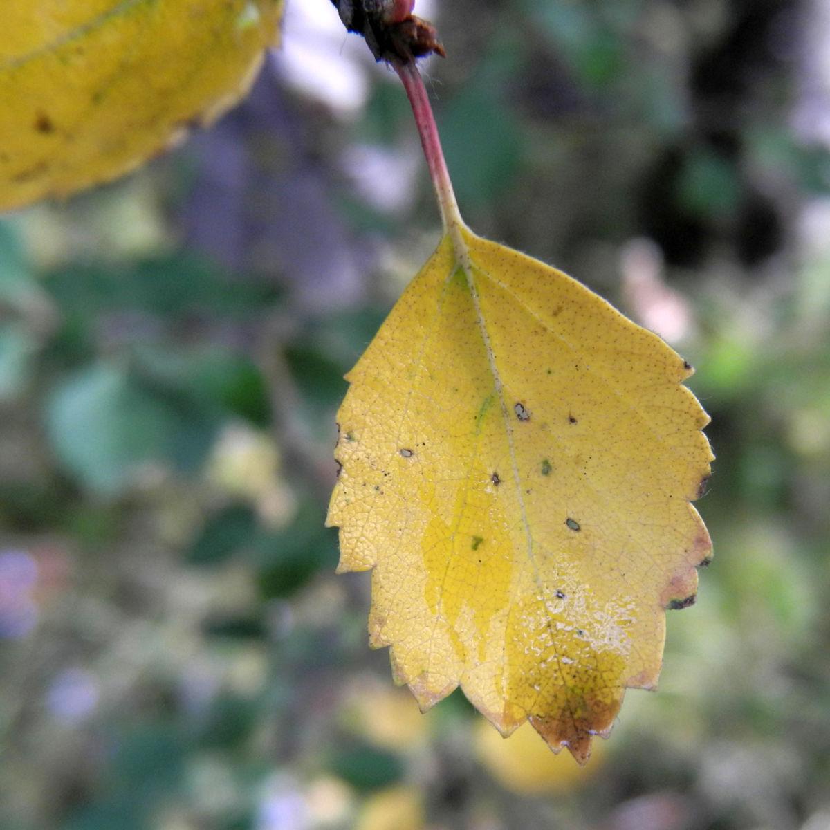 Alaska Birke Blatt Betula neoalaskana