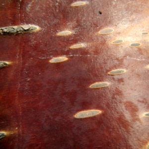 Alaska Birke Rinde Betula neoalaskana 02